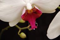 Фотография Орхидеи Фаленопсис (Phalaenopsis) купить