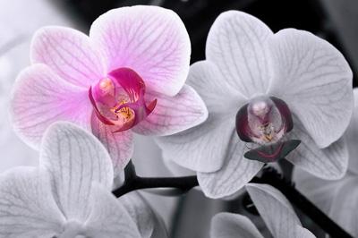 Фотография Орхидеи Phalaenopsis (Фаленопсис)